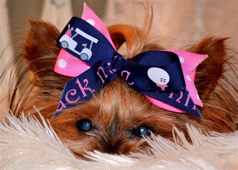 bows for yorkies hair 2769 best images about yorkies 2 on yorkie puppies for sale