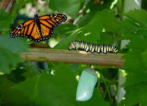caterpillar to butterfly images