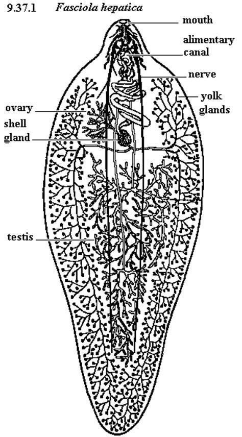 Diagram Of Tapeworm Liver Fluke Earthworm Hydra With Labelling 10092557 Meritnation Unbiol2