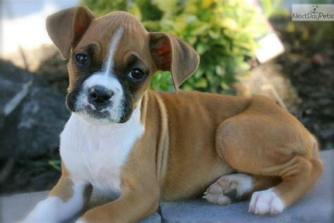 baby boxer puppies boxer puppies breeds picture