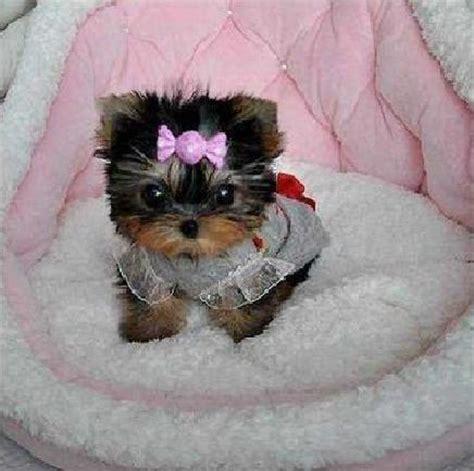 yorkie terrier mini en adopcion regalo cachorros de terrier mini para adopcion barcelona 243 n