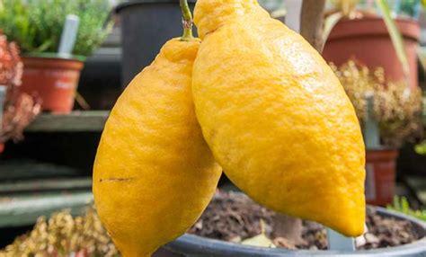 come potare i limoni in vaso come potare i limoni in vaso awesome come e quando potare
