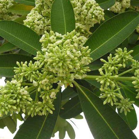 buy alstonia scholaris dita tree saptaparni plant