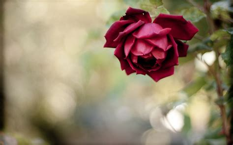 free wallpaper red rose red rose wallpaper free download hd desktop wallpapers