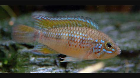 Ikan Apistogramma Indukan 17 best images about cichlids on cichlids