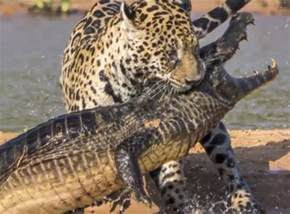 Jaguar Gets Alligator Pin Jaguar Attacks Crocodile Exclusive Bbhcc On