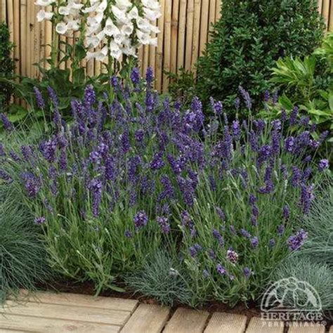 plant profile for lavandula angustifolia ellagance purple english lavender perennial