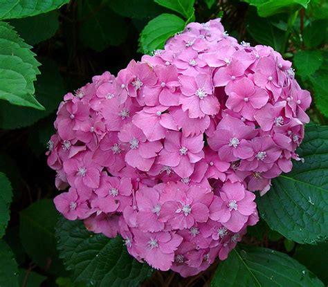 imagenes flores hortensias c 243 mo cambiar el color de las flores de las hortensias