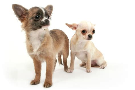 chihuahua puppy growth chart chihuahua growth chart in pounds breeds picture