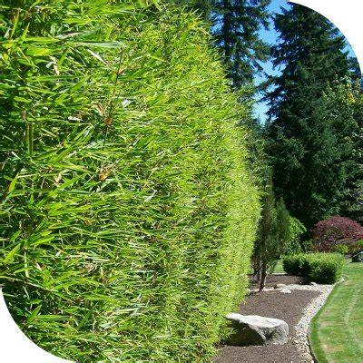 Taille Bambou Fargesia by Taille Bambou Fargesia Rufa Pivoine Etc