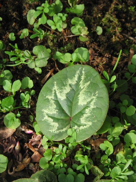 leaf pattern wiki cyclamen wiki everipedia