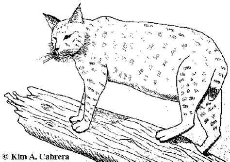 bobcat coloring page bobcat drawing for kids