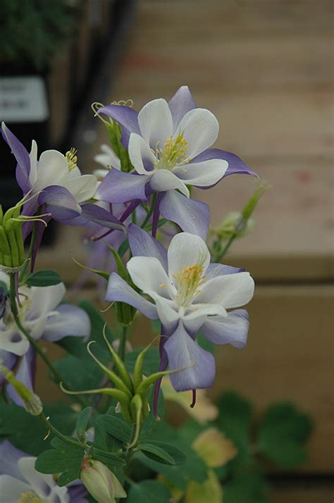 columbine origami origami blue and white columbine aquilegia origami blue