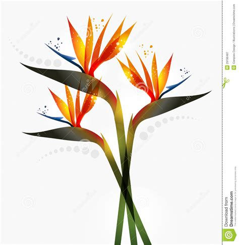bird of paradise flower stock vector image of close
