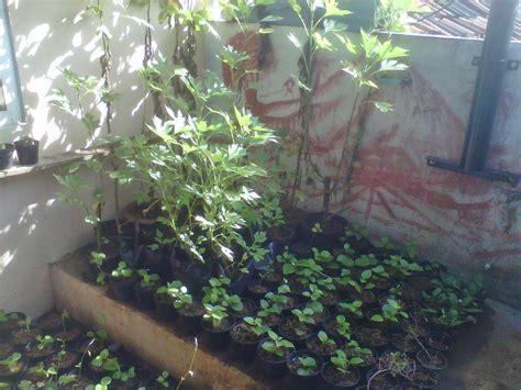 Tanaman Kaktus 19 adjie kaktus 2 tanaman obat insulin