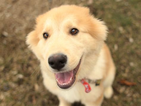 part husky part golden retriever golden retriever german shepherd husky mix