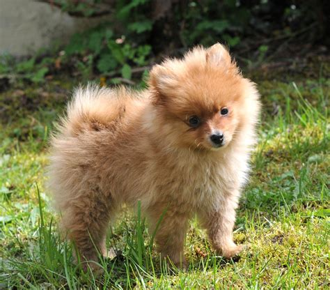 how much is pomeranian in philippines spitz nain chiots pomeranians and animal