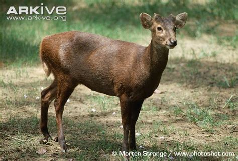 deer breeds bawean deer photos and facts axis kuhlii arkive