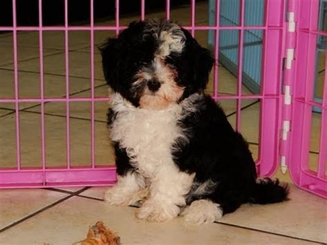 puppyfind havanese havanese puppies dogs for sale in charleston south carolina sc rock hill