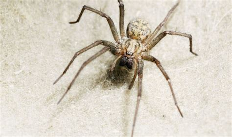 how do you get rid of spiders in your house how to get rid of spiders in your house do conkers keep them away property life