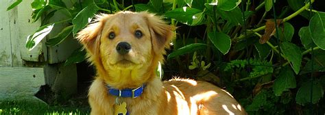 scgrr golden retriever rescue southern california golden retriever rescue finding loving lifetime homes for all