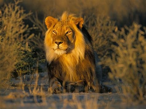 wallpaper hd of lion hd lion pictures lions wallpapers hd animal wallpapers