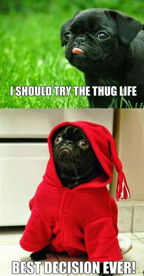 pug thug amyoops the pug thug