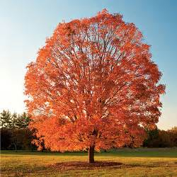 sugar maple tree seeds tree seeds for sale