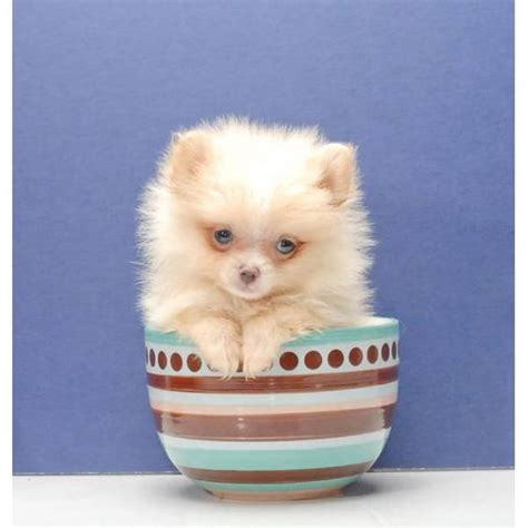 micro pomeranians for sale micro teacup pomeranian puppies for sale uk zoe fans baby animals