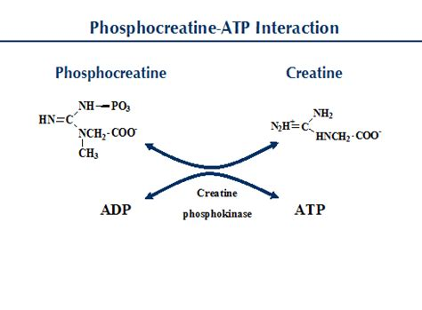 creatine phosphate function all about creatine precision nutrition