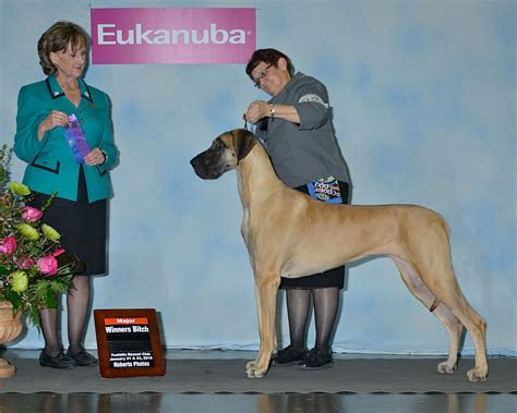 show me pictures of great dane dogs further hypoallergenic miniature ziva nancy great dane and owner soar to dog show