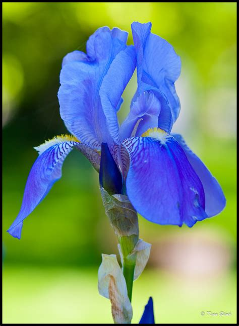 blue iris flower www pixshark com images galleries