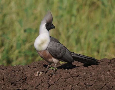 tanzania bird photos 18th may to 2nd june 2013
