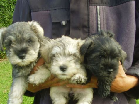 miniature westie puppies for sale miniature schnauzer x westie wauzers puppies ely cambridgeshire pets4homes