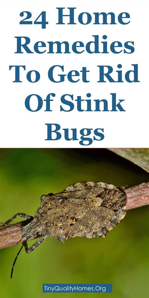 Get Rid Of The Summer Cake Look by The 25 Best Green Stink Bug Ideas On Stink