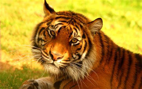 imagenes 4k tigre descargar fondos de pantalla el tigre de sumatra 4k