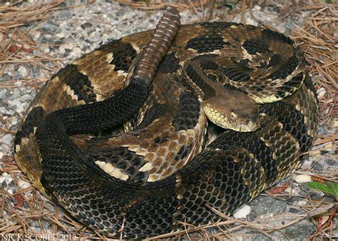 Garden Snake Rattle Timber Rattlesnake Flickr Photo