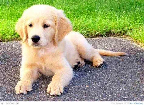is there a miniature golden retriever golden retriever puppy images breeds picture