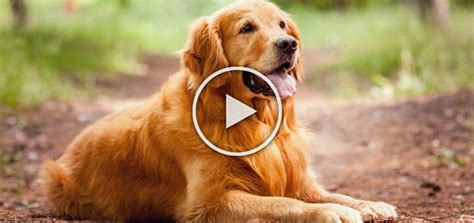 large breed golden retriever golden retriever large sized breed of