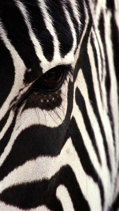 wallpaper iphone zebra zebra wallpaper for iphone x 8 7 6 free download on