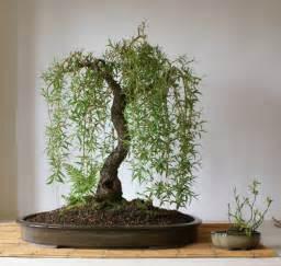 Details about Salix babylonica Babylon Willow outdoor bonsai tree 3 x