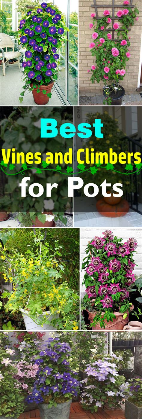 Climbing Rose Trellis Ideas 24 Best Vines For Containers Climbing Plants For Pots