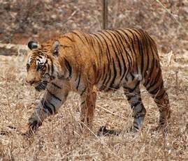 How Does Blind Cc Work File Bengal Tiger Karnataka Jpg Wikimedia Commons