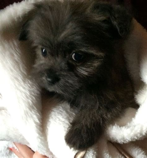 bichon pomeranian mix puppies for sale bichon and pomeranian mix for sale breeds picture