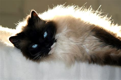ragdoll cat breed 5 tips when caring for your ragdoll cat cat care