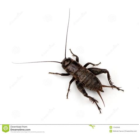 crickets in the house where did the superstition come from cricket in the house