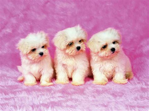puppy background puppy backgrounds for computer wallpaper cave