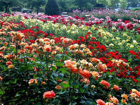 rose gardening colorfull rose garden 1749 hostelgarden net