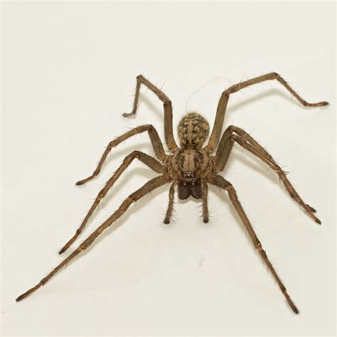 House Spiders by Is It Ok To Throw House Spiders Outside