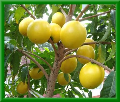 1 fruit in the world all fruits in the world abiu fruit emperor s golden fruit